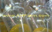 telur ikan gurami