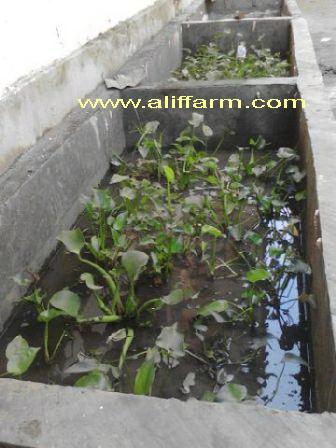 kolam budidaya belut