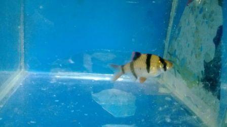 ikan hias kecil