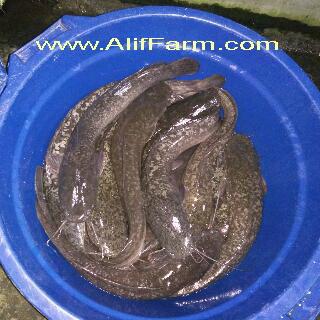 indukan ikan lele mutiara