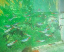 ikan hias termahal